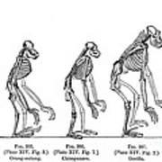 Ernst Haeckel, Evolution Of Man, 1879 Poster