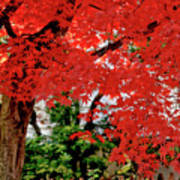 Essence Of Japanese Maple Tree Poster
