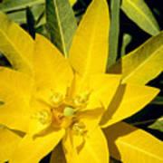 Euphorbia Wallichii Poster
