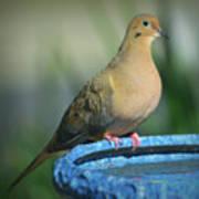 Mourning Dove On Birdbath Poster