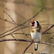European Goldfinch 3 Poster