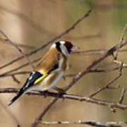 European Goldfinch 5 Poster