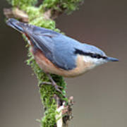 European Nuthatch Poster