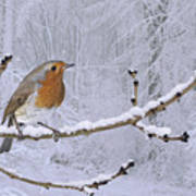 European Robin On Snowy Branch Poster