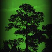 Evening Pine Poster
