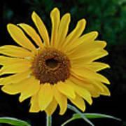 Evening Sunflower Poster