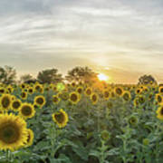 Evening Sunflowers Poster