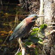 Everglades Inhabitant Poster