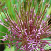 Evolving Allium Poster