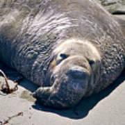 Exhausted Elephant Seal Poster