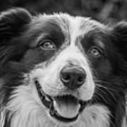 Expression Of A Border Collie Poster
