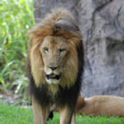 Expressive Male Lion Prowling Around In Nature Poster