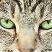 Extreme Close Up Tabby Cat Poster