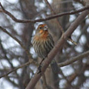 Eye-contact With The Rare - Orange Phase - House Finch Poster