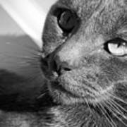 Eyes Of Russian Blue Poster