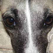 Eyes Whippet Poster by Marie-france Quesnel