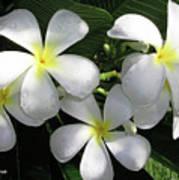 F1 Plumeria Frangipani Flowers Hawaii Poster