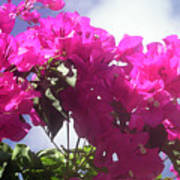 F15 Bougainvilleas Flowers Poster
