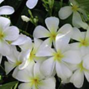 F2 Plumeria Frangipani Flowers Hawaii Poster