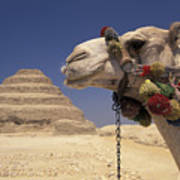 Face Of A Camel In Front Of A Pyramid Poster