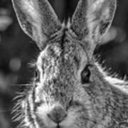 Face Of A Rabbit In Black And White Poster
