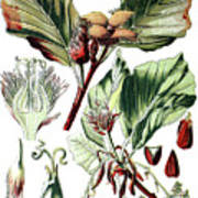 Fagus Sylvatica, The European Beech Or Common Beech Poster