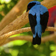 Fairy Bluebird Male Digital Oil  Poster