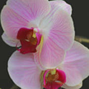 Fairy Blush Orchids Poster