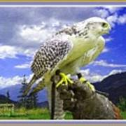 Falcon Being Trained H A With Decorative Ornate Printed Frame. Poster