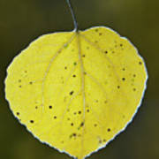 Fall Aspen Leaf Poster