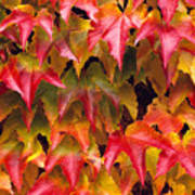 Fall Colored Ivy Poster