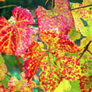 Fall Colors At The Vineyard Poster