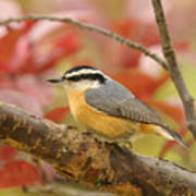 Fall Colors Nuthatch Poster