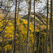 Fall Colors Through Aspens Poster