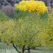 Bright Yellow Leaves, Dixon New Mexico Poster