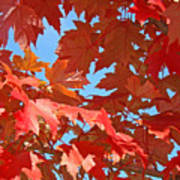 Fall Tree Leaves Red Orange Autumn Leaves Blue Sky Poster