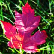Fallen Maple Leaf Poster