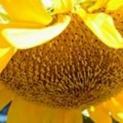 Falling Sunflower Poster