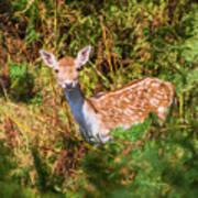 Fallow Deer 2 Poster