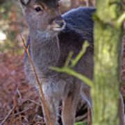 Fallow Deer Fawn Poster