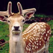 Fallow Deer Portrait Poster