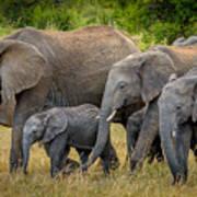 Family Of Elephants Poster