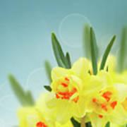Fancy Spring Narcissus Garden  Poster