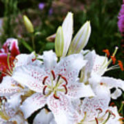 Fancy White Lily In Garden Poster