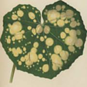 Farfugium Grande  Leopard Plant, Green Leopard Plant Poster