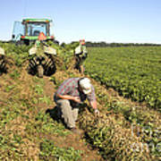 Farmer Inspects Peanut Field Poster