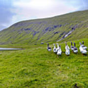 Faroes Geese Poster