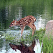 Fawn At The Water Hole Poster