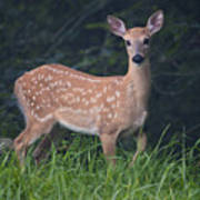 Fawn Doe Poster
