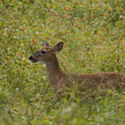 Fawn In A Field Of Flowers Poster